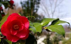 Camellia-japonica--Scott-Ackerman--cc-by-2-0